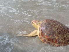 Sea Turtle Hospital - Topsail Beach - Reviews of Sea Turtle Hospital - TripAdvisor