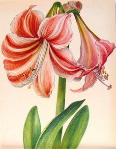 Amaryllis I painted in high school art class.