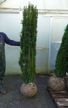 Taxus Baccata Fastigiata upright Yew   http://www.hedgesonline.com/other-plants-and-trees # slow growing Feature Tree # Taxus#Yew