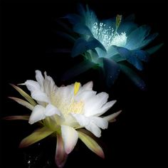 Photographer Craig Burrows harnesses the power of UV light to show another side of beautiful flowers. Uv Photography, Types Of Photography, Plant Art, What A Wonderful World, Cactus Flower, Ultra Violet, Art Pictures, Mother Nature, Flower Power