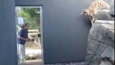 Léopard saute sur les murs... http://www.dailymotion.com/video/x48yije_leopard-saute-sur-les-murs_animals