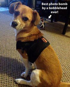 Baltimore Orioles dog (spawty)