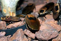Sissende kakkerlak