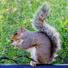 Squirrels are everywhere in the US and Canada. . Os esquilos estão por toda a parte pelos EUA e Canadá. Até nas grandes cidades. Este, por exemplo, foi clicado na Roosevelt Island, ilha ao lado de Nova York, que já demos a dica no blog. Aproveita e veja o post de hoje, no qual damos dicas de vários passeios fora do óbvio, na Big Apple:  . http://www.turistaprofissional.com/2016/11/10/o-que-fazer-em-nova-york-ilhas/