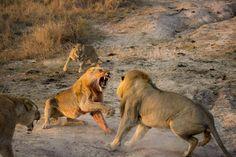 A lion brawl - Africa Geographic Blog