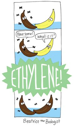 biology humor Beatrice the Biologist Ripe Bananas - Beatrice the Biologist Biology Jokes, Chemistry Jokes, Math Jokes, Ap Biology, Chemistry Teacher, Science Comics, Science Puns, Science Art, Nerd Jokes
