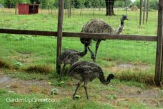 Raising Emu's is pretty fun and a little time consuming. Learn more about the early stages. We raise them to protect our sheep. Garden Up Green(Chicken Backyard Baby Chicks) Backyard Poultry, Backyard Farming, Chickens Backyard, Duck Or Rabbit, Game Fowl, Farm Activities, The Barnyard, Mini Farm, Hobby Farms