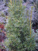 Värd-jugapuu ´Stricta Viridis´, Taxus × media ´Stricta Viridis´