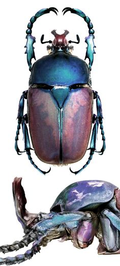 Compsocephalus ( Brachymitra) dmitriewi
