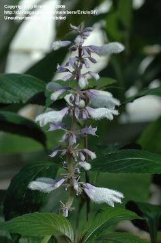 Diviner's Sage - Salvia divinorum