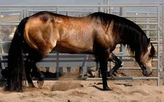 Hollywood dun it good...stallion standing at Ackerman performance horses, in Colorado