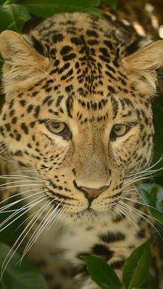 leopard_predator_face_cat_67295_640x1136   by vadaka1986