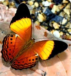 God is always working Butterfly Painting, Butterfly Wallpaper, Butterfly Wings, Butterfly Crafts, Types Of Butterflies, Flying Flowers, Beautiful Bugs, Beautiful Butterflies, Beautiful Creatures