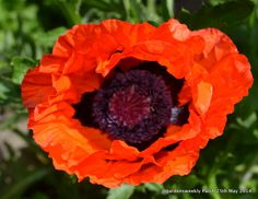 Papaver orientale in the early morning sun, this is the colour when she first opens almost unreal