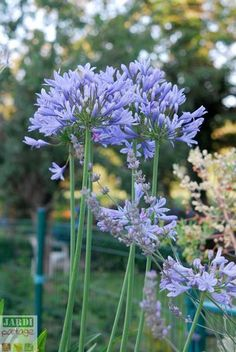 Agapanthus: cultivation, planting e Gardening Zones, Gardening Tips, Organic Gardening, Beautiful Gardens, Beautiful Flowers, Vegetable Planting Guide, Rogers Gardens, Home Grown Vegetables, Garden Online