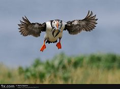 Puffin - landing gear out