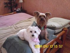 ~ Daily Dose of Cuteness ~  Ciara & Sullivan (Shared by Shanon G. Smith) #DogoftheDay http://aboutmorkies.com/ Follow us: Facebook.com/YorkiesMorkiesMaltese Twitter.com/morkienation #dog #doglovers #animals #pets #yorkies #yorkie #yorkielovers #petlovers #dogowners #puppy #adorablepets #sillydogs #smallanimals #instadogs #instayorkie #instapuppy #instaanimals #petsofinstagram #dogsofinstagram #yorkieofinstagram #puppylove #animallovers #ilovemypet #ilovemyyorkie #igdogs #igpets