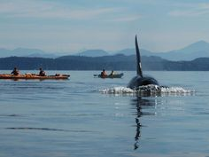 Omg kayaking with orcas would scare the ish outta me but I'd so do it! 10 Adventures To Try In The San Juan Islands . Vancouver Island, Canada Vancouver, Whidbey Island, Bainbridge Island, Places To Travel, Places To See, Ontario, Orcas Island, Evergreen State