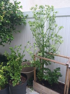 The Age Of Everything: Six Foot Celery