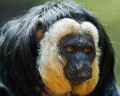 black yellow saki - Sakis are frugivores. Their diet consists of over 90% fruit and is supplemented by a small proportion of leaves, flowers, and insects. Sakis, as well as uakaris, engage in a specialized form of frugivory in which they focus specifically on unripe fruits and seeds.