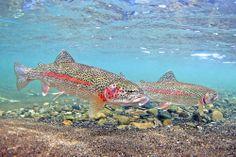Pat Clayton captures the beauty of Alaska fish with an impressive sense of aesthetics.