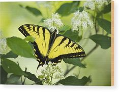 Swallowtail Butterfly Feeding On Flowers Wood Print by Christina Rollo. All wood prints are professionally printed, packaged, and shipped within 3 - 4 business days and delivered ready-to-hang on your wall. Choose from multiple sizes and mounting options. Canvas Art Prints, Canvas Wall Art, Fine Art Prints, Wood Plank Art, Dogwood Flowers, Thing 1, Flower Artwork, Gifts For Nature Lovers, Poster Making