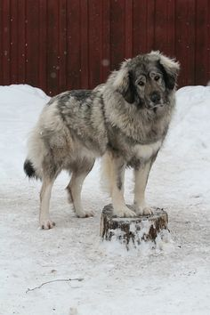 Gorgeous #Caucasian #Shepherd....awww what a sad face! I think he's ready to come inside by the fire.  :)