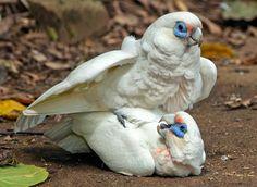 Google+ Little corella, Cacatua sanguinea. This pair of birds are mating.
