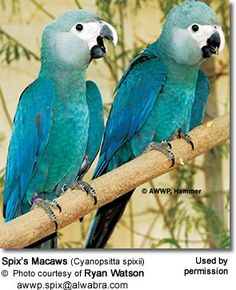 Spix's Macaws Based on the possibility that other specimens may be discovered in the future, this species is currently listed as Critically Endangered (Possibly Extinct in the Wild).