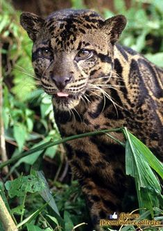 """Newly discovered clouded leopard species in the heart of the jungle in Borneo boasts though the smallest of the """"big cats"""" has the longest fangs in the feline world. I Love Cats, Big Cats, Cats And Kittens, Siamese Cats, Beautiful Cats, Animals Beautiful, Big And Beautiful, Beautiful Images, Animals And Pets"""