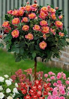 Tahiti Sunrise Rose Tree by charlene