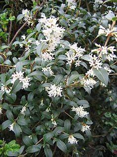 Osmanthus x burkwoodii - un arbuste persistant, très parfumé qui fleurit au printemps, pousse lentement donc parfait pour une haie car il suffira de le regarder pousser depuis sa chaise longue (!!). En fait, si, le tailler un peu au départ pour le faire s'étoffer. Une valeur sûre