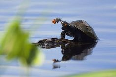 Solitary bee & endangered turtle have symbiotic relationship. Bee needs sodium (from turtle's tears); Turtle can't wipe away tears. Voila!