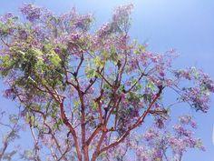 Jacaranda en Santa Barbara