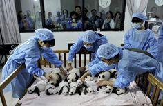 Lucunya Bayi-bayi Panda di Cina http://on-msn.com/1b3QIaZ