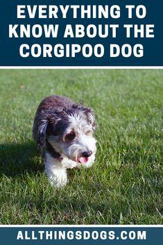 A Corgipoo is a mix between a Pembroke Welsh Corgi and Miniature, Toy or Standard Poodle. This adorable fluff ball makes the ideal companion dog due to the Corgi Poodle Mix, Corgi Mix Breeds, Smartest Dog Breeds, Companion Dog, Short Legs, Pembroke Welsh Corgi, Mixed Breed, Pup, Eyes