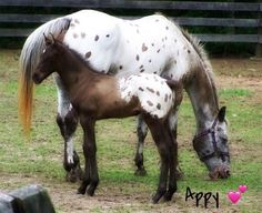 Applossa with foal