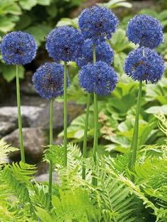 Deer Resistant  Allium Azureum Blue Globe Onion Type: Bulbs Height: Medium 20 (Plant 6-8 apart) Bloom Time: Late Spring to Early Summer Sun-Shade: Full Sun Zones: 4-8   Find Your Zone Soil Condition: Normal, Acidic Flower Color / Accent: Blue / Blue