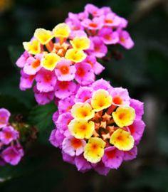 lantana flowers/ ATT