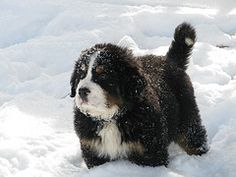 Bernese Mountain Puppy in the snow....  love him