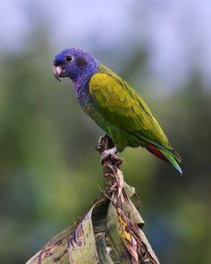 Blue-headed Parrot (Pionus menstruus) | Flickr - © Frank Shufelt