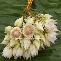 A member of the Protea family, the Blushing Bride flowers in spring and produces a papery white petal, or floral leaf, that surrounds a feathery tuft of white to pinkish flower. They come in limited colors of white or pink.   It is thought that this plant received its name because of its traditional use in bridal bouquets in South Africa.