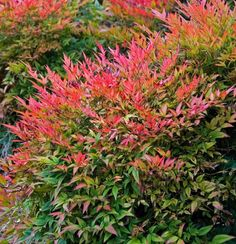 Gulf Stream Heavenly Bamboo (Nandina domestica 'Gulf Stream') displays attractive lacy foliage every season of the year. Noted for its intense red new growth and fall color. This evergreen shrubs grows 3 feet tall and wide in full sun or part shade. Bamboo Seeds, Bamboo Plants, Foliage Plants, Garden Shrubs, Landscaping Plants, Garden Plants, Evergreen Shrubs, Trees And Shrubs, Garden Art