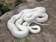 Rat Snake, Corn Snake, Serpent Animal, Melanistic Animals, Animals And Pets, Cute Animals, Rare Albino Animals, Snake Photos, Black Rat