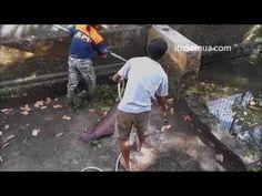 Video Penyelamatan Ikan Raksasa | Itu Semua