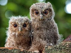 Great baby owls