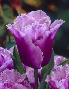 flowersgardenlove:   ~Blue Heron Tulip Beautiful gorgeous pretty flowers