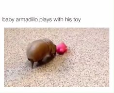 Armadillo plays with his toy!Baby Armadillo plays with his toy! Cute Funny Animals, Cute Baby Animals, Animals And Pets, Cute Creatures, Beautiful Creatures, Animals Beautiful, Cute Animal Videos, Funny Animal Pictures, My Animal