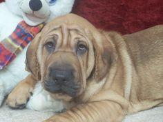 Ba-Shar    My Puppy, Chubby at 3 mo.
