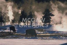 American Bison, Wyoming